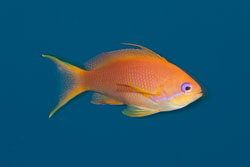 BD-150223-Sharm-6366-Pseudanthias-squamipinnis-(Peters.-1855)-[Sea-goldie].jpg